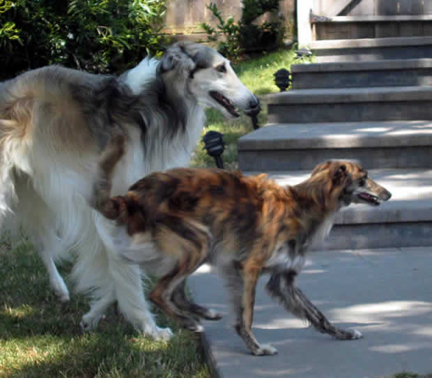 Ivan the Borzoi and Cinnibar the Silken Windhound play