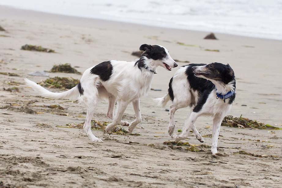 Silken Windhound Brothers Falkor and Rinjin