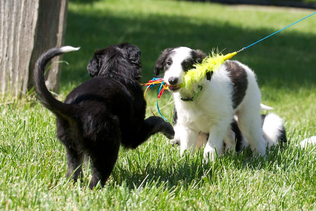 Falkorand Sasha Silken Windhound puppies play with lure