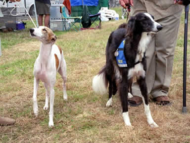 Lance and a Whippet at an AKC show