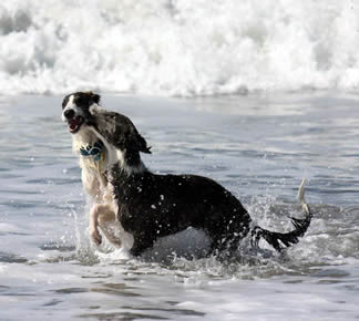 Loki and Dita, Silken Windhounds play at the beach