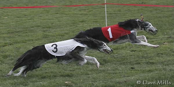 Cinder and Kalisa , Silken Windhounds straight racing in ISWRA races