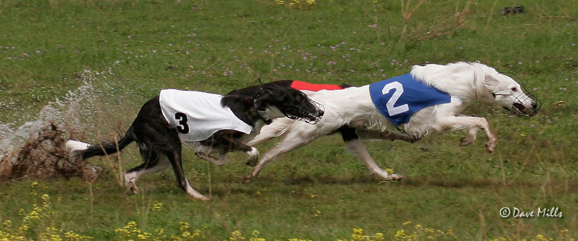 Gideon and Shadow and Tara, Silken Windhounds straight racing ISWRA LGRA