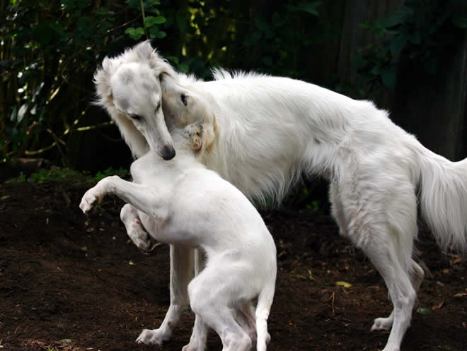 Gideon, a Talisman Silken Windhound, plays with his puppy daughter Sazi
