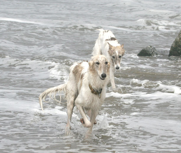 Ivy and Anthias playing in the ocean, silken windhounds
