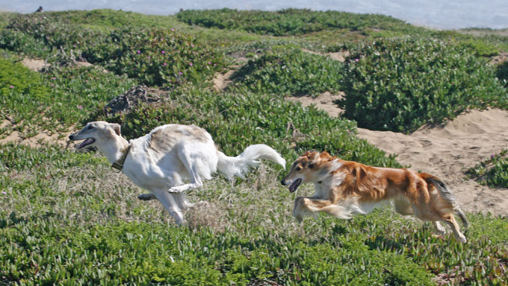 Ivy and Jake the Silken Windhounds run along the cliffs