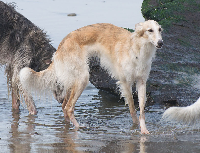 Maya the Silken Windhound at the beach