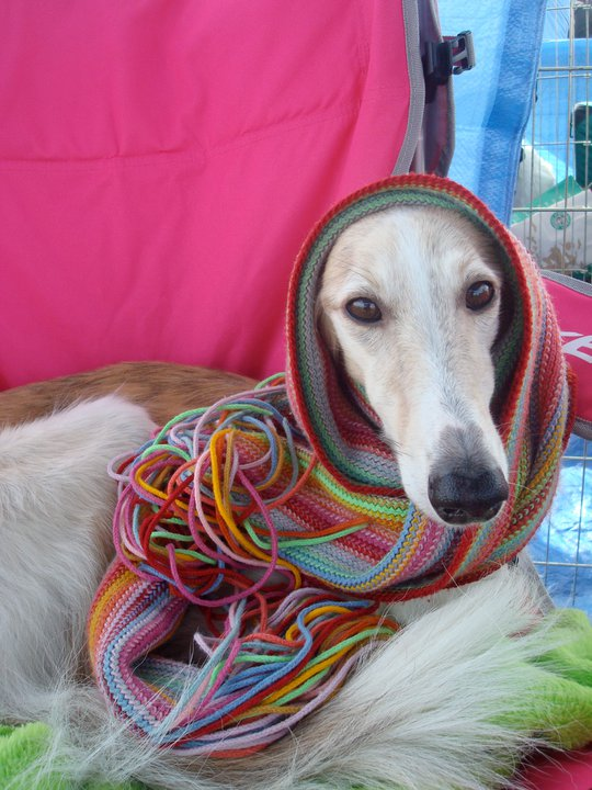 Maya the Silken Windhound with a scarf