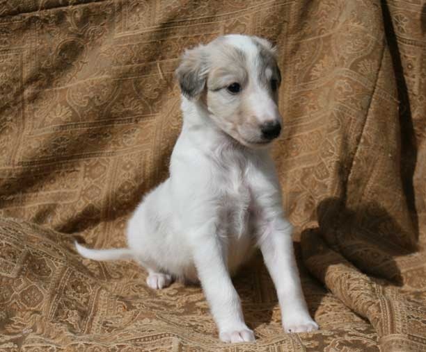Helios. a Talisman Silken Windhound, as a small puppy