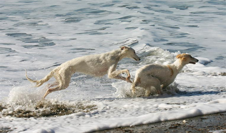 Ronan and Sazi, brother and sister Talisman Silken WIndhounds at play in the ocean off the California Coastline
