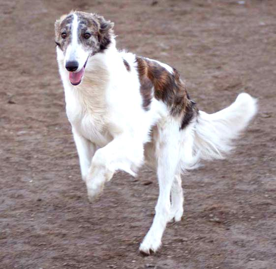 Sony, a Talisman Silken Windhound, at play at Tangaloor Silkens in Washington State